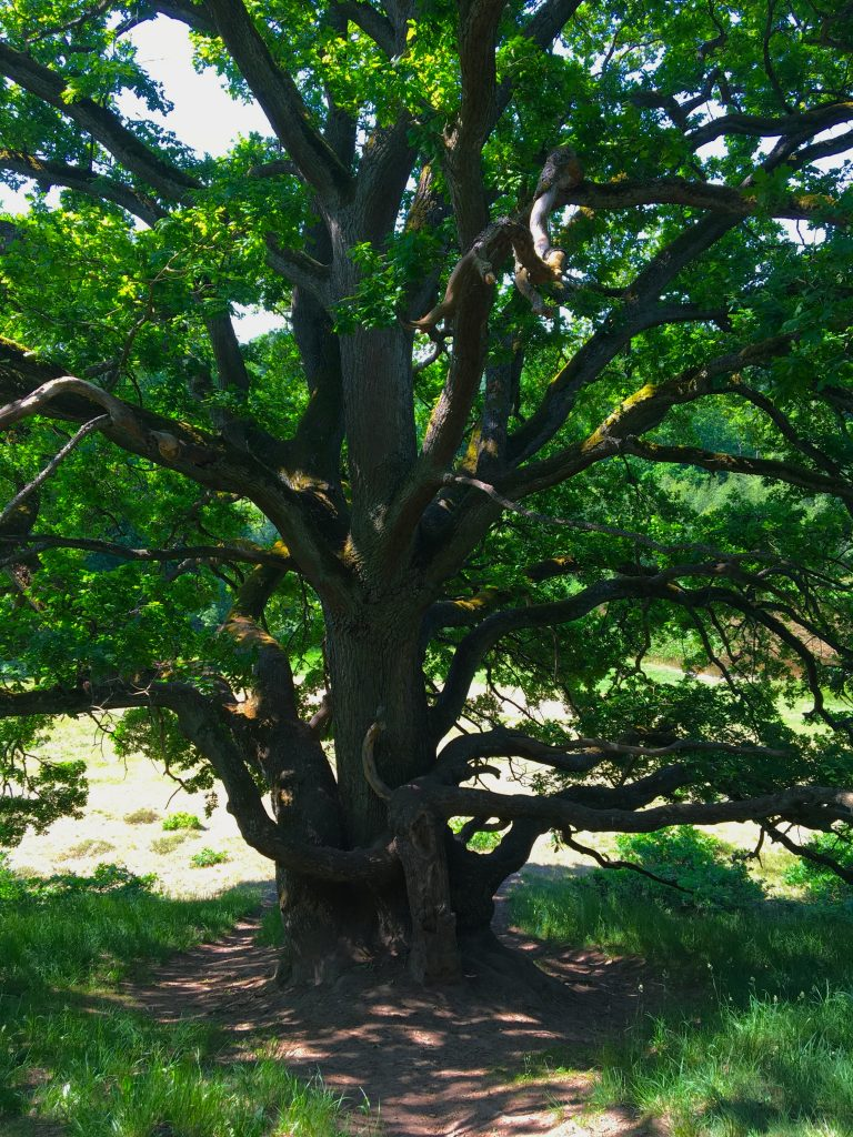 Skryllegården-tree