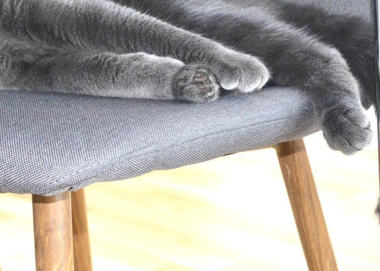 patounes chat gris