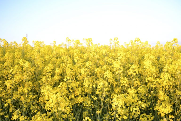 champs-de-colza-rapeseed-fields-19