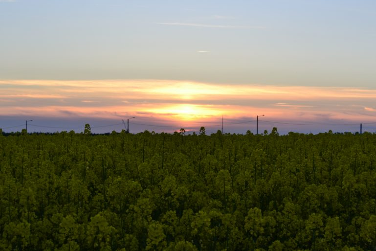 champs-de-colza-rapeseed-fields-end