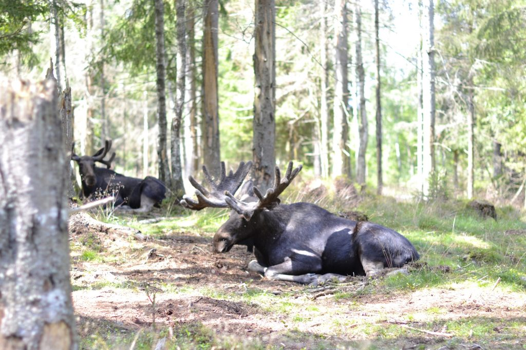 Where to see elks in Sweden?