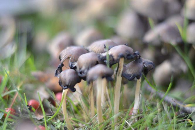 swedish mushroom